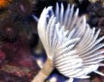 Photo Hawaiian Feather Duster, pink fan worms