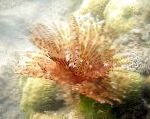 Photo Feather Duster Worm (Indian Tubeworm), red