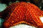 Reticulate Sea Star, Caribbean Cushion Star