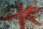 Photo Galatheas Sea Star, red