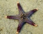 Choc Chip (Knob) Sea Star