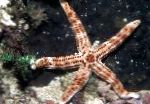 Burgundy Sea Star