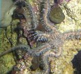 Red Brittle Star (Brittle Sea Star, Knobby Fancy)
