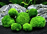 6 Marimo Moss Ball Variety Pack - 4 Different Sizes of Premium Quality Marimo from Giant 2.5 Inch to Small 1 Inch - World's Easiest Live Aquarium Plant - Sustainably Harvested and All-Natural Photo, best price $12.95 new 2018