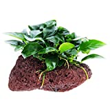 Greenpro (Anubias Nana Petite Lava Stone) Anubias, Java Fern, Moss and More! Freshwater Live Aquarium Plants on Driftwood for Aquatic Tropical Fish Tank Decorations - Easy to Drop Photo, best price $14.99 new 2019