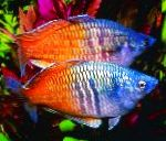 Photo Boesemans Rainbowfish, Motley