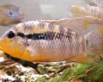 Photo Banded Acara, Striped