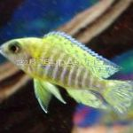 Photo Blue Peacock Cichlid, Striped