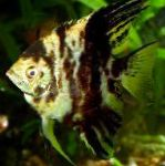 Photo Angelfish scalare, Spotted