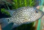 Photo Texas Cichlid, Spotted