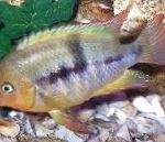 Photo T-Bar Cichlid, Striped