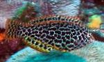 Leopards Wrasse