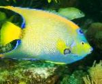 Photo Queen Angelfish, Motley