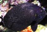 Photo Black Nox Angelfish, Midnight Angelfish, Black