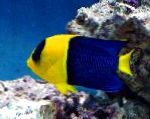 Photo Bicolor Angelfish, Motley
