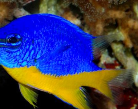 foto azur damselfish blau