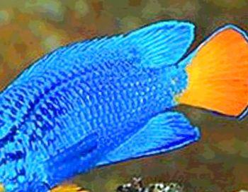 rotbarsche blau weiß apuarium