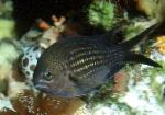 Photo Chromis, Black