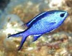 Photo Chromis, Blue