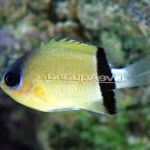 Photo Chromis, Yellow