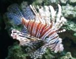 Photo Volitan Lionfish, Striped