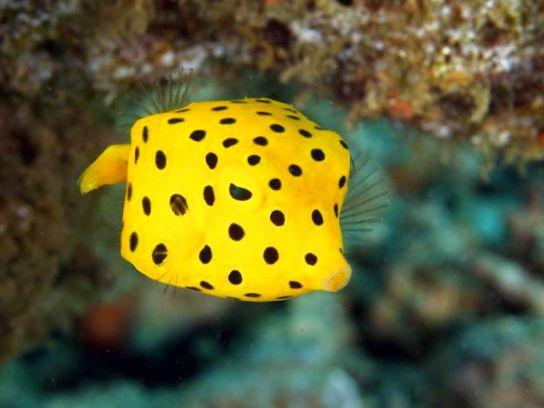 Cubicus Boxfish Care Photo Cubicus Boxfish,...