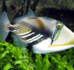 Photo Humu Picasso Triggerfish, Motley