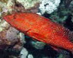 Photo Miniatus Grouper, Coral Grouper, Red
