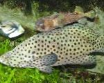 Grouper Panther