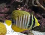 Photo Sailfin Tang, Desjardini, Striped