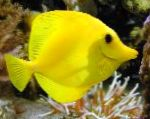 Photo Yellow Tang, Yellow