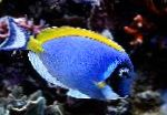 Photo Powder Blue Tang, Blue