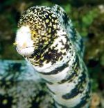 Photo Snowflake Eel, Spotted