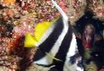 Heniochus Black & White Butterflyfish