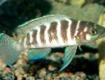 Photo Cylindricus Cichlid, Striped