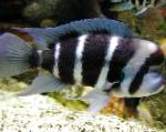 Photo Frontosa Cichlid, Striped