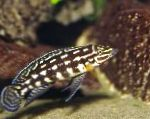 Photo Marlieri Cichlid, Spotted