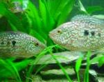 Photo Green Texas Cichlid, Spotted
