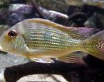 Photo Surinamen Geophagus, Striped
