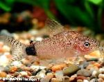 Photo Corydoras guapore, Spotted