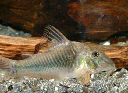 Foto corydoras ellisae argento for Comprare pesci online