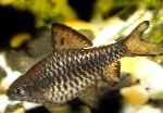Photo Checkered Barb, Silver