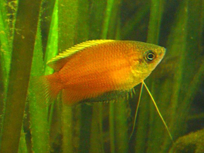 Foto honing dwerggourami geel for 405 tropical fish