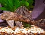 Pleco, suckermouth catfish