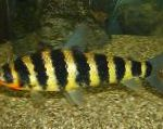 Photo Black banded leporinus, Striped