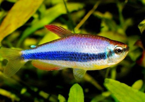 Photo purple emperor tetra striped for Black and white striped fish freshwater
