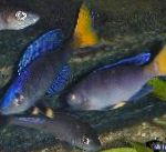 Photo Sardine Cichlid, Blue