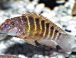 Photo Striped Goby Cichlid, Striped
