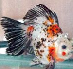 Photo Goldfish, Motley