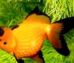 Photo Goldfish, Yellow